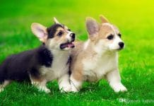 Get to Know the Adorable Pembroke Welsh Corgi Puppies